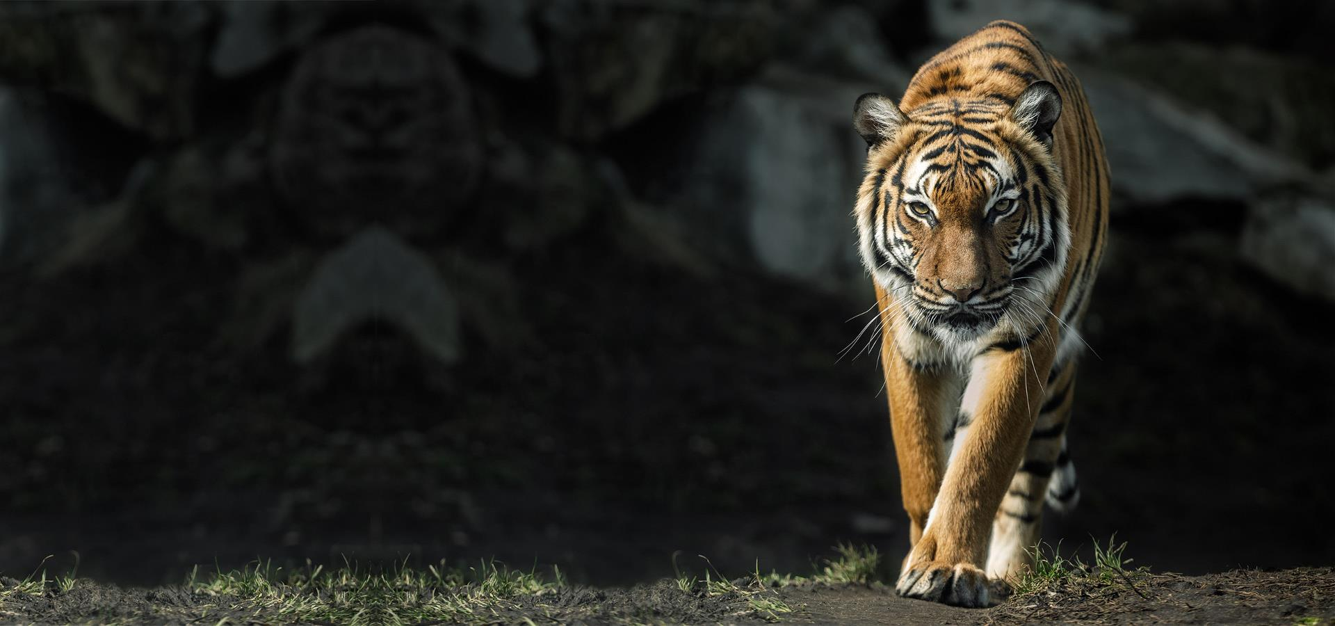 Tiger walking across some grass with a black background