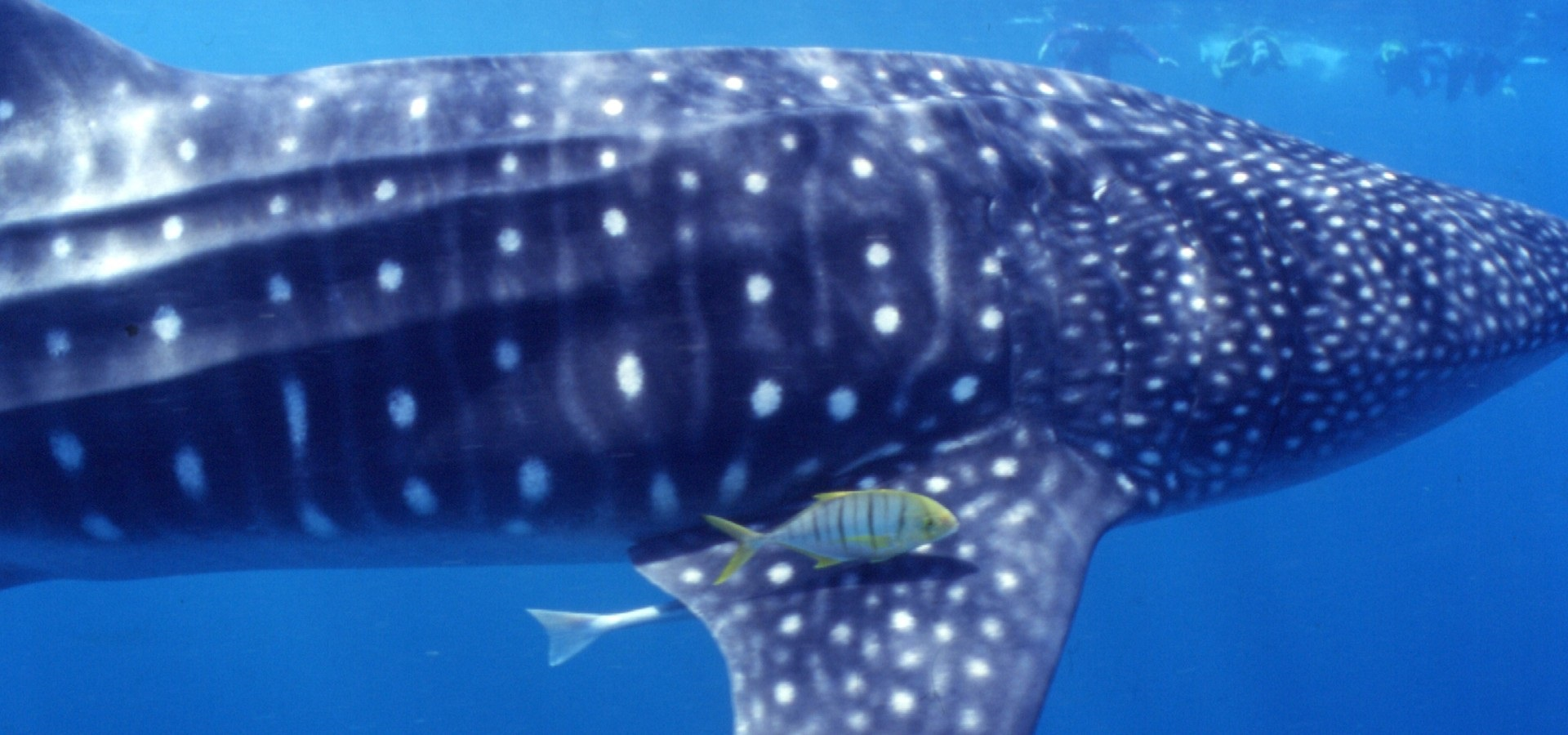 Whale Sharks Swimming Under Water - Copyright belongs to Brad Norman
