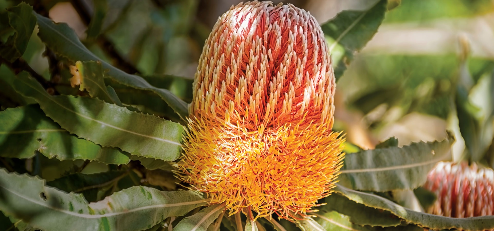 Banksia shining through the new Murdoch logo