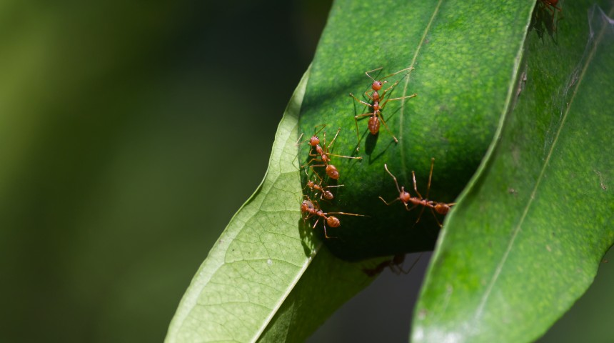 fire ants on a green leaf