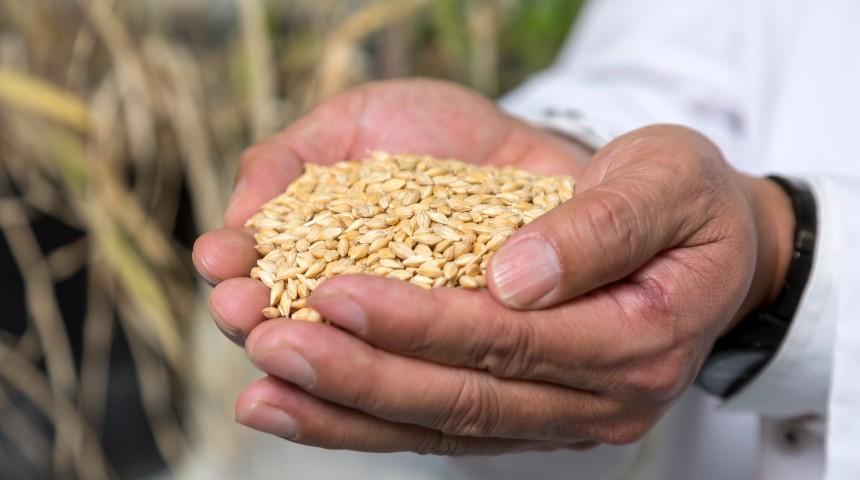 Hands holding barley grains