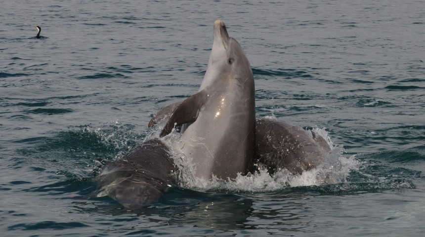 Resident male dolphins socialising in Cockburn Sound, Western Australia