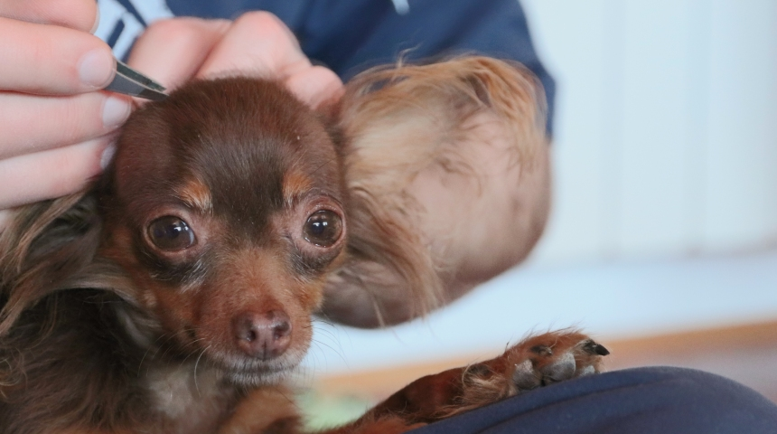 Person using tweezers to remove insects from dog