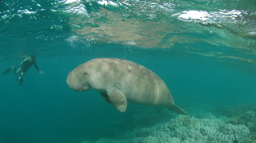 Dugong swimming in the coral reefs of New Caledonia