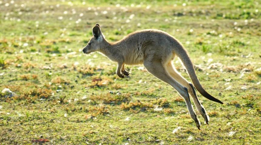 Kangaroo jumping in paddock