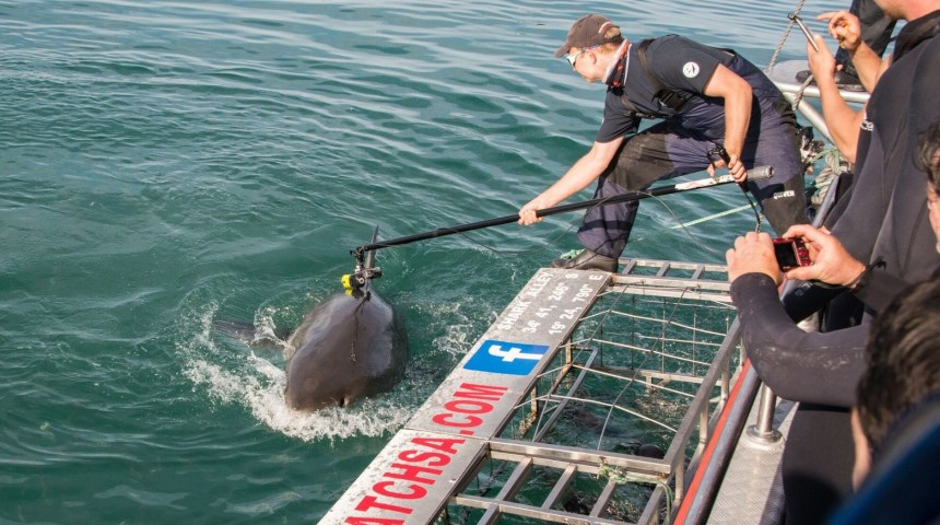 Oliver Jewell attaching a camera to a white shark