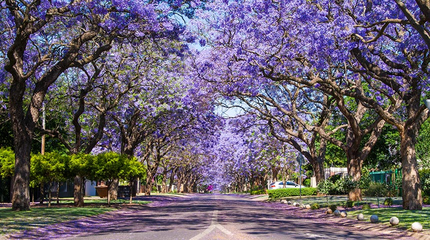 Street lined with flowering purple Jacaranda trees