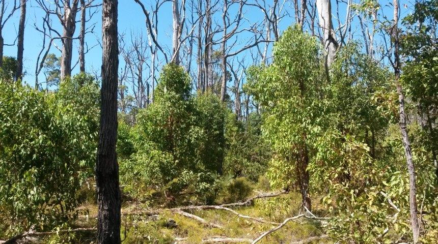 Regrowth in the Northern Jarrah Forest