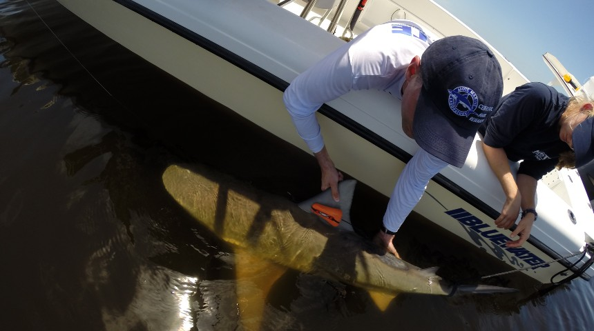 two researchers tagging bull sharks