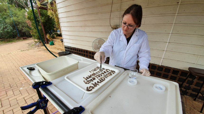 Trish Fleming dissecting lizards on a tray