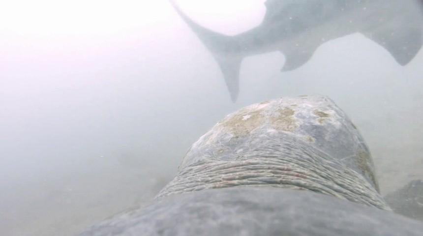 turtle versus shark attack