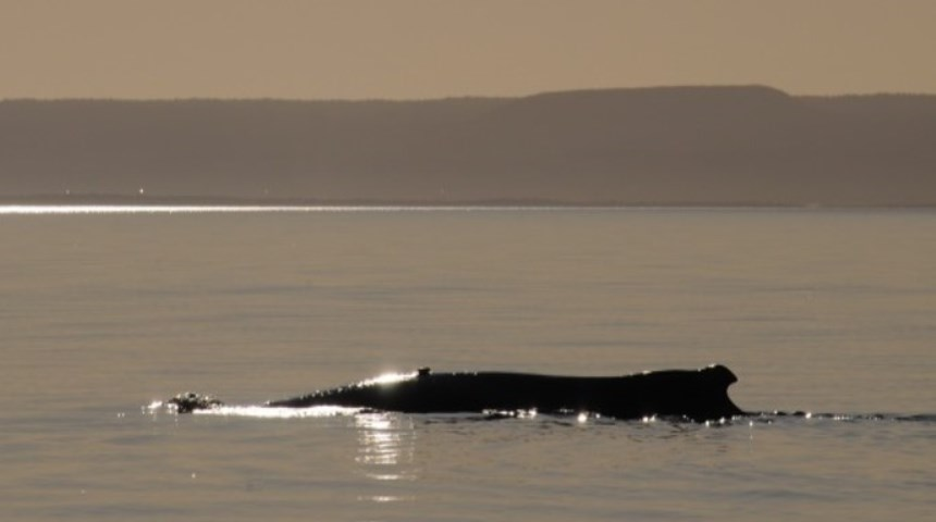 Whale at dusk Exmouth
