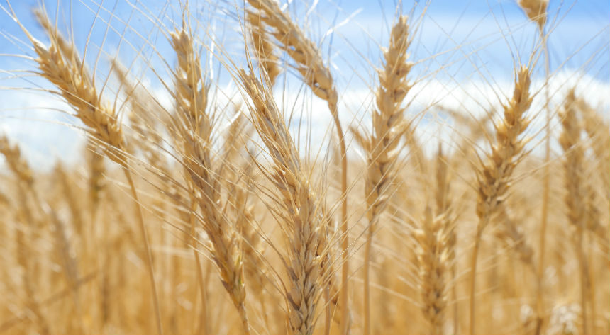 Gene study gives hope for low allergy wheat breeds