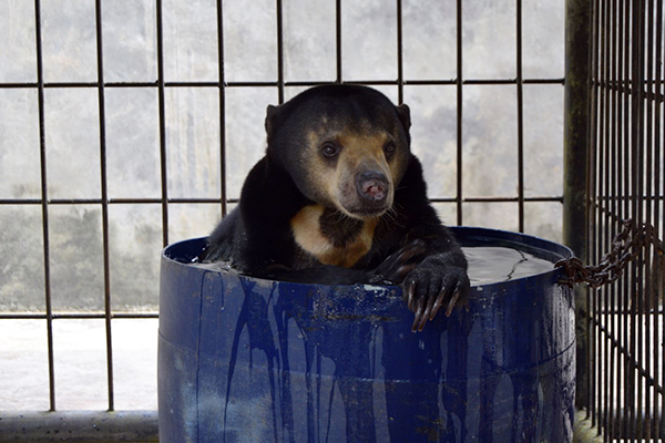 Hitam sits in a blue barrel filled with water