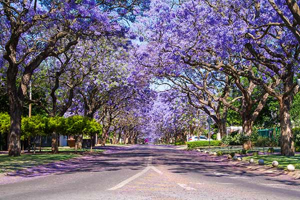 Street lined with flowering purple Jacaranda trees